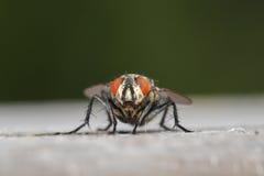Крупный план мухы плоти Стоковая Фотография