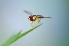 Крупный план мухы Стоковая Фотография RF