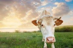 Крупный план намордника коровы Стоковые Изображения