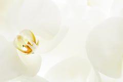 Крупный план на белой орхидее Стоковое Фото