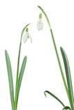 2 изолированное Snowdrops Стоковые Фотографии RF