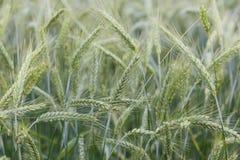 Крупный план на поле пшеницы стоковые изображения rf