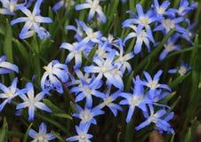 Крупный план на цветке ветра весны с голубыми и белыми цветами Стоковые Изображения