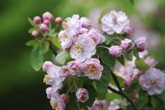 Крупный план нежности, весны, розовых цветков на ветви весной Стоковые Изображения RF