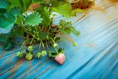 Крупный план незрелое органическое растущего плодоовощ клубники на плантации Стоковые Изображения RF