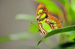Крупный план нижней стороны бабочки малахита Стоковые Изображения RF