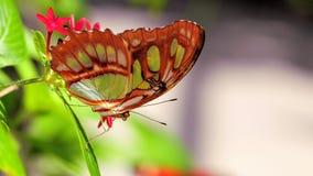Крупный план нижней стороны бабочки малахита Стоковое Изображение RF
