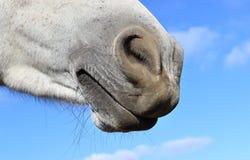Крупный план носа лошади над голубым небом Стоковое Фото