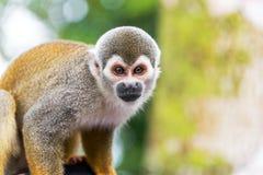 Крупный план обезьяны белки Стоковое фото RF