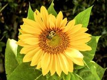 Крупный план общего солнцецвета и пчелы Стоковое фото RF