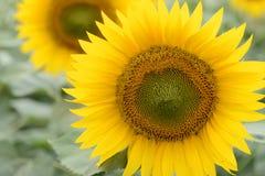 Крупный план общего солнцецвета Стоковая Фотография