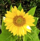 Крупный план общего солнцецвета Стоковые Изображения RF