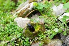 Крупный план общей женщины жука рогача & x28; Cervus& x29 Lucanus; в естественной среде обитания Стоковые Фотографии RF