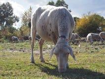 Крупный план овец Стоковое Изображение RF