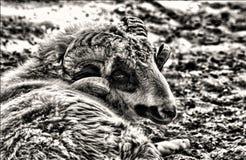 Крупный план овец Стоковые Изображения RF