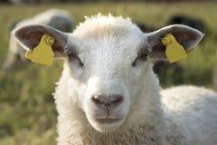 Крупный план овечки Стоковые Фотографии RF