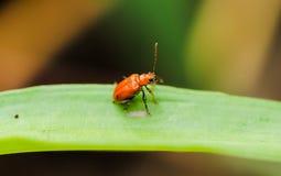 Крупный план оранжевого жука Cucurbit Стоковая Фотография RF