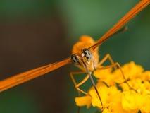 Крупный план оранжевой бабочки Стоковая Фотография