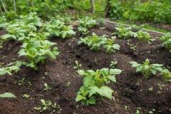 Крупный план органических заводов картошки в саде Стоковая Фотография