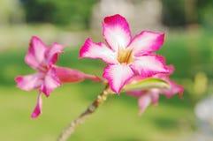 Крупный план орхидеи цветков бело-розовый Стоковая Фотография RF