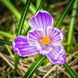 Крупный план открытого фиолетового крокуса сверху Стоковые Фото