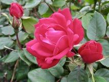 Крупный план открытой живой красной розы окруженной зелеными листьями Стоковые Изображения RF