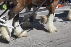 Крупный план лошадей Clydesdale, парад дня St. Patrick, 2014, южный Бостон, Массачусетс, США Стоковые Фотографии RF