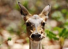 Крупный план оленей Cheetal есть листья Стоковое Изображение RF