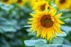 Крупный план одиночного солнцецвета Стоковая Фотография
