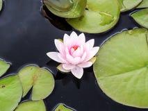 Крупный план одиночное Waterlily в пруде Стоковые Изображения RF