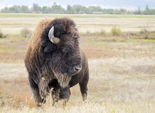 Крупный план одичалого американского бизона бизона буйвола Стоковые Изображения RF
