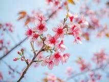 Крупный план одичалой гималайской вишни (сливы Cerasoides) Стоковое Изображение RF