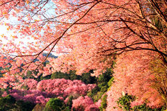 Крупный план одичалой гималайской вишни (cerasoides сливы) на Khun Mae Стоковое фото RF