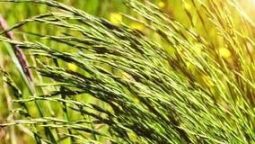 Крупный план одичалой травы на ветреной погоде против предпосылки голубые облака field wispy неба природы зеленого цвета травы бе видеоматериал