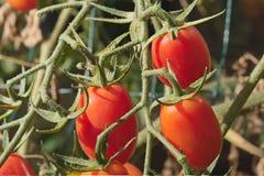 3 томата груши Стоковые Фото