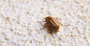 Крупный план одного maybug на стене Стоковая Фотография RF