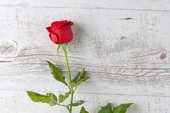 Крупный план одной красной розы на белой древесине Стоковые Изображения RF