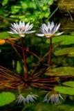 Крупный план пары тропических цветков лилии белой воды (кувшинковые) с отражениями и пусковыми площадками лилии. Стоковая Фотография