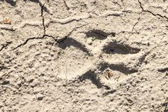 Крупный план печати лапки собаки на сухой треснутой земле Стоковая Фотография