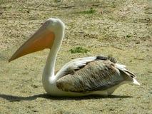 Крупный план пеликана, сидит на земле Стоковые Фото