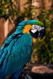 Крупный план портрета говоря попугая ары голубого зеленого цвета оранжевый Стоковое фото RF