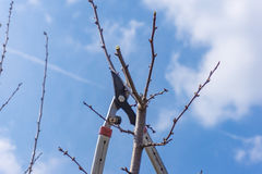 Крупный план подрезать весны фруктового дерев дерева Стоковое Фото