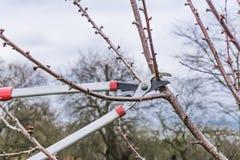 Крупный план, подрезать весны фруктовых дерев дерев Стоковые Изображения RF
