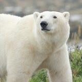 Крупный план 1 полярного медведя Стоковые Изображения