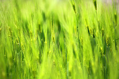 Крупный план поля злака в предпосылке текстуры сельской местности Стоковые Фото