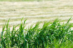 Крупный план поля ячменя Стоковые Фотографии RF