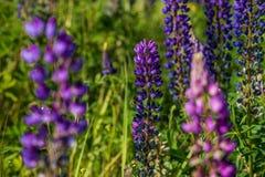 Крупный план поля lupine Стоковые Изображения