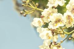 Крупный план предпосылки белых цветков Стоковая Фотография