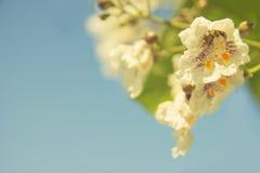 Крупный план предпосылки белых цветков Стоковое фото RF