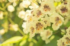 Крупный план предпосылки белых цветков Стоковое Изображение RF